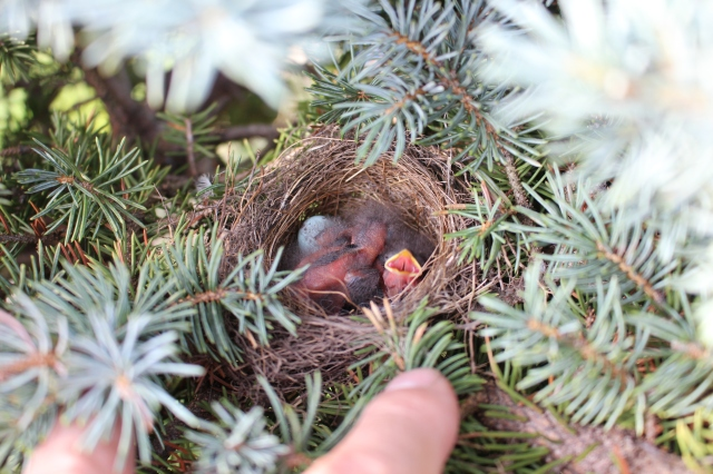 field sparrow nest