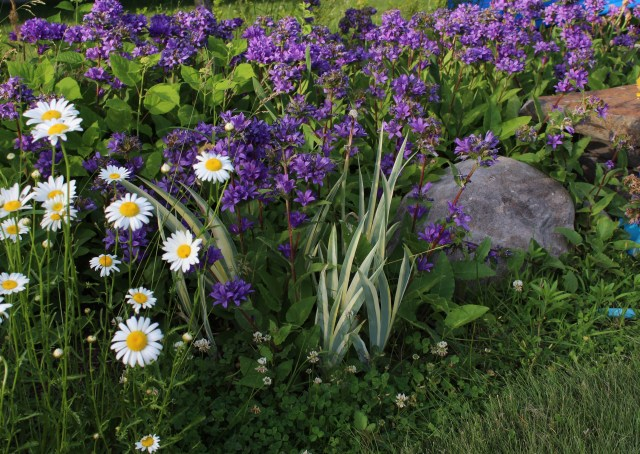 iris with campanula and daisies