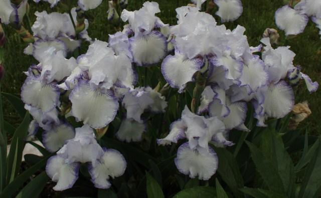 iris snowbrook