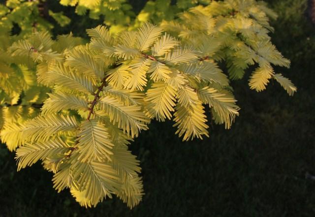 ogon metasequoia