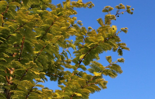 goldrush dawn redwood