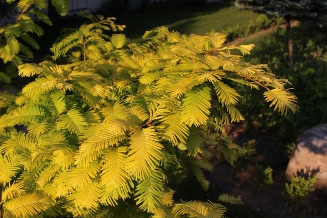Metasequoia glyptostroboides ogon goldrush