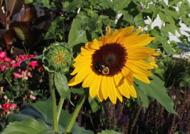 pollen free sunflower with bee