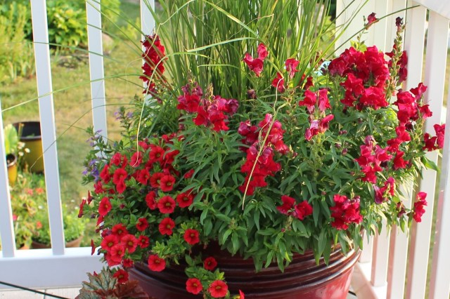 red snapdragons in a container