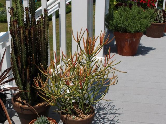 pencil succulent on deck