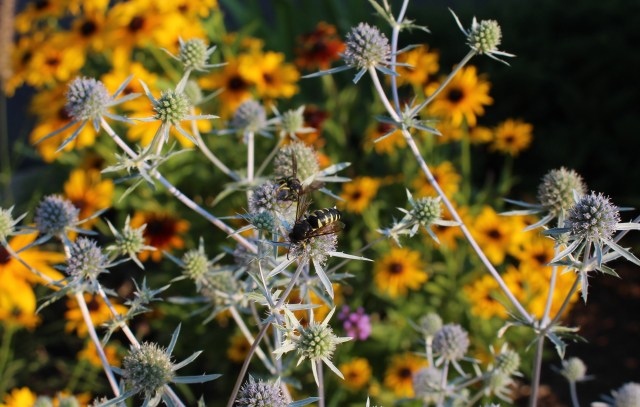 pollinators on eryngium