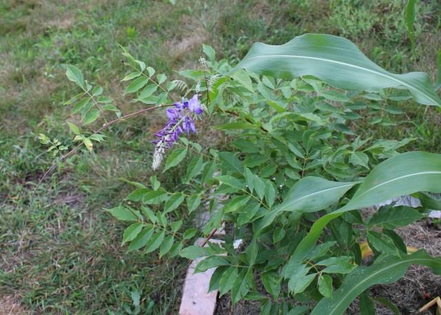 wisteria summer bloom