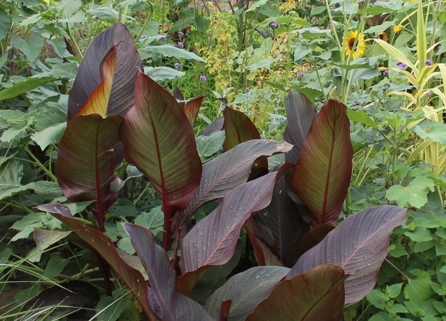 red russian canna