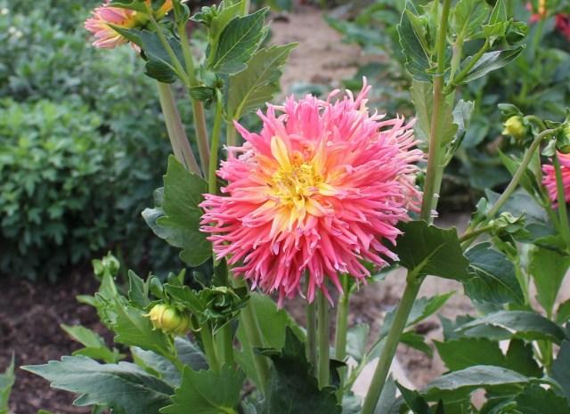 pink and yellow cactus dahlia