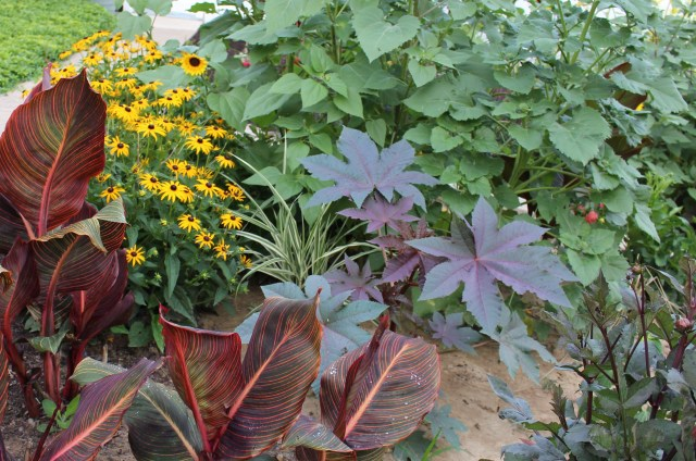 castor bean with tropicanna canna