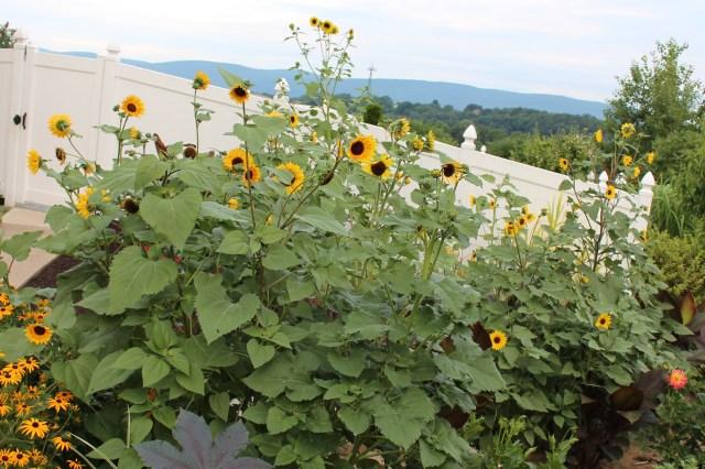 selfsown sunflowers