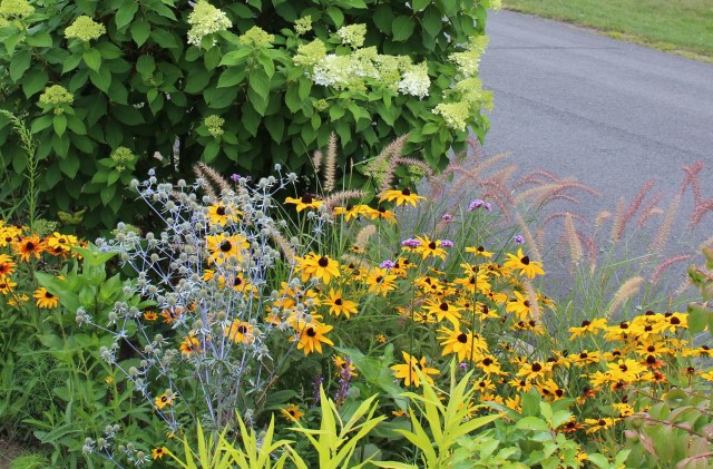 karley rose pennisetum with black eyed susans