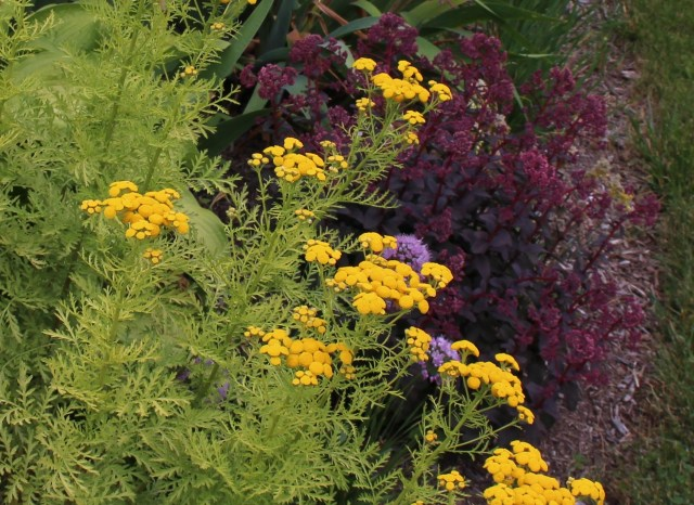 isla gold tansy with bon bon sedum