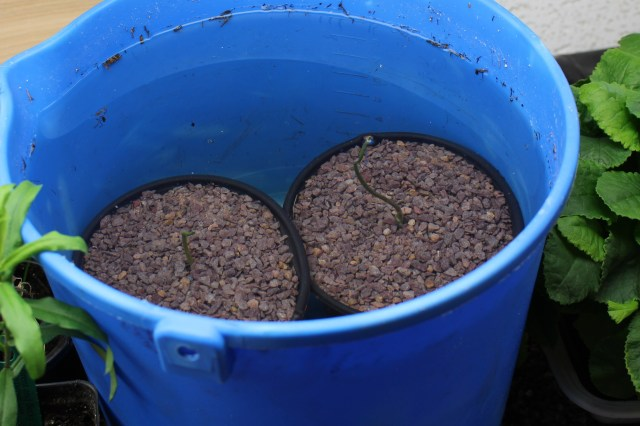 5/1Lotus seeds potted up