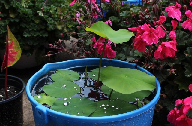 6/25 Lotus growing in a bucket