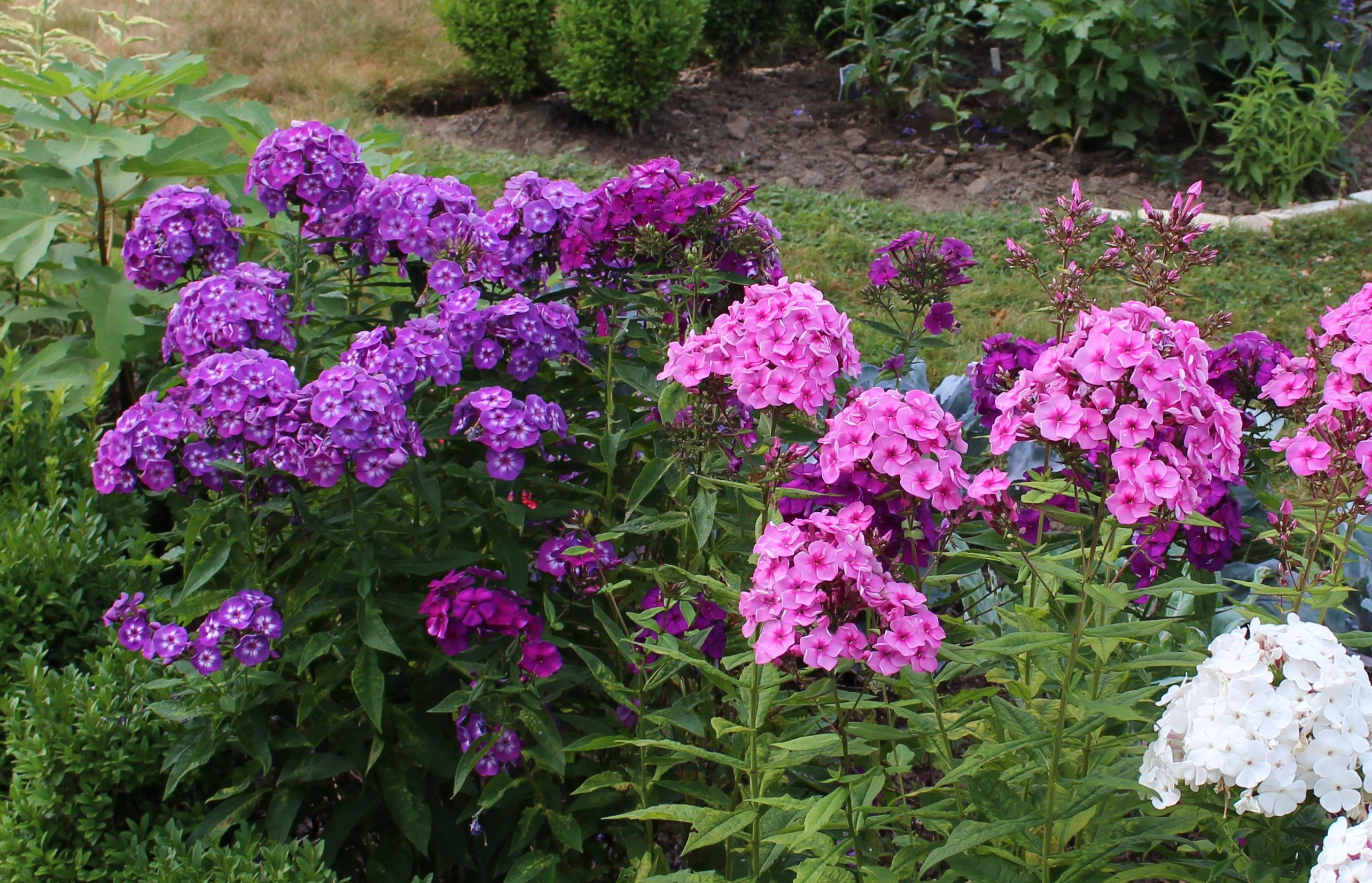 growing phlox sorta like suburbia. Black Bedroom Furniture Sets. Home Design Ideas