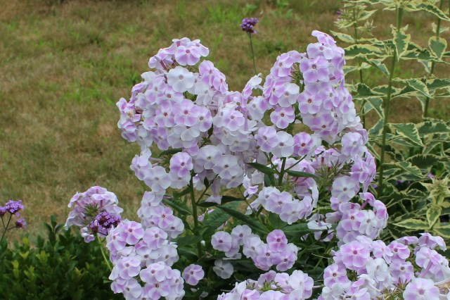 phlox blushing shortwood