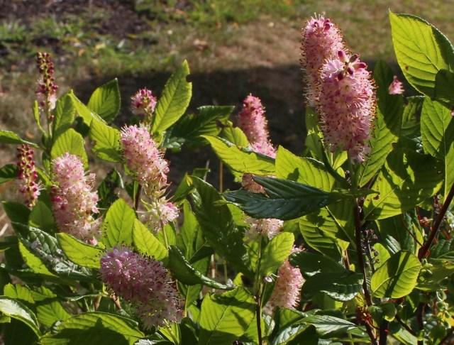 """Clethra alnifolia """"pink spires"""""""
