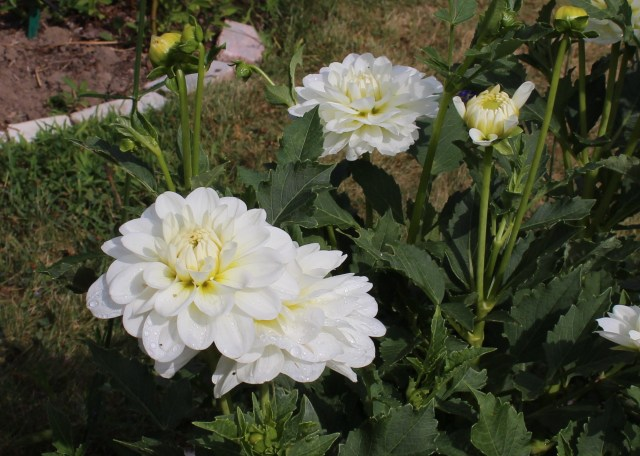 dahlia 'bride to be'