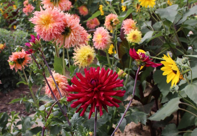 dahlia 'mathew alan'