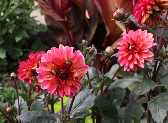 "dahlia ""goovy"" with japanese beetles"