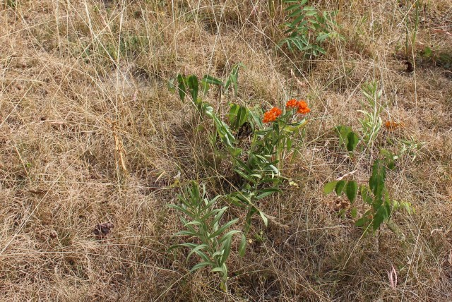 asclepias tuberosa during drought