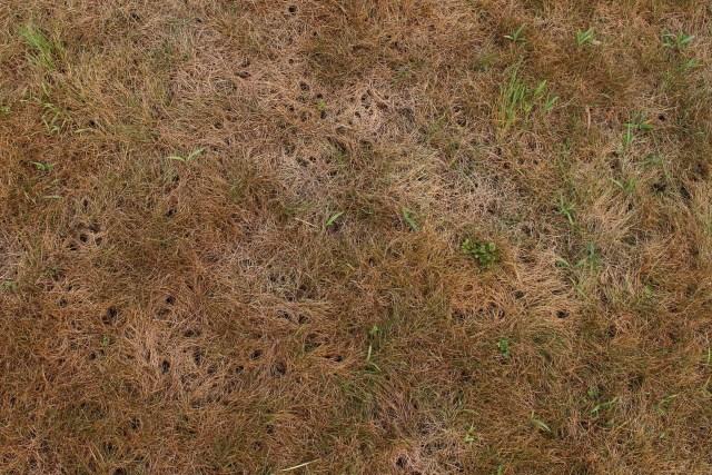 holes in lawn from birds feeding