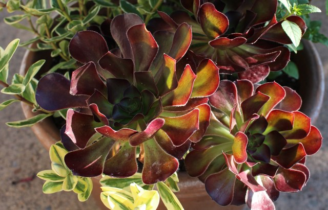 aeonium with variegated hebe
