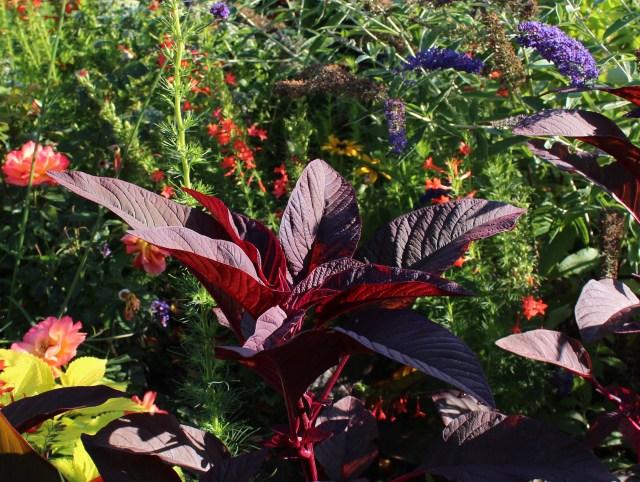 amaranthus hopi red dye