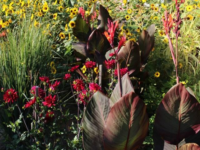 canna with perennials