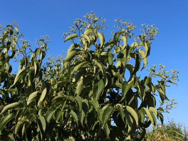 heptacodium miconioides leaves