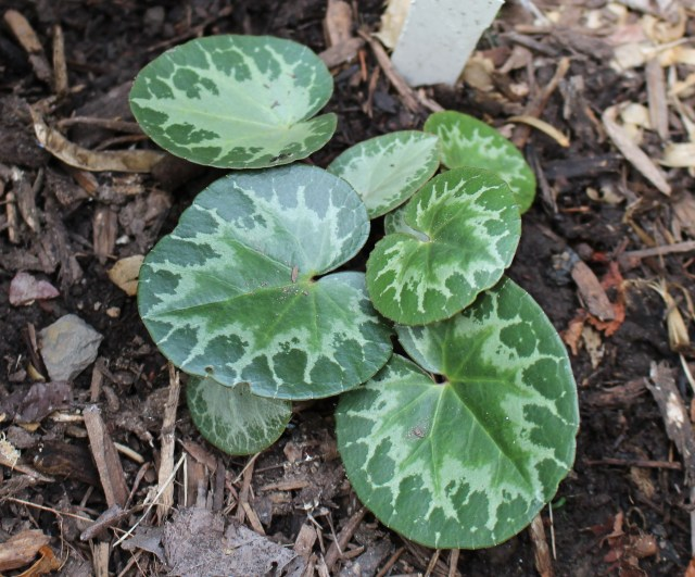 cyclamen purpurascens foliage