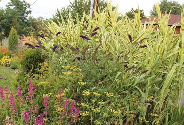 arundo donax variegata in perennial border