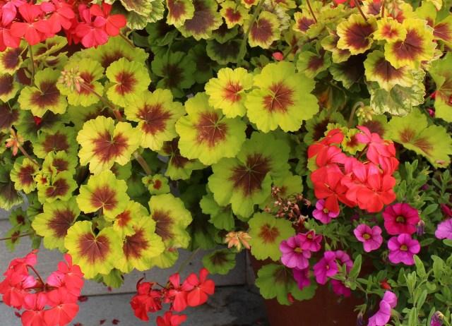 zonal geranium
