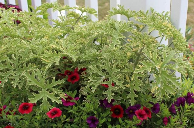 scented leaf geranium