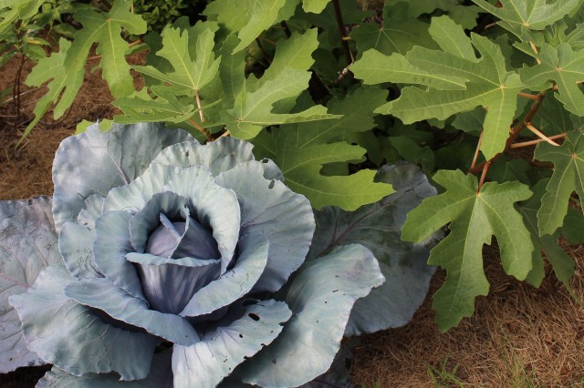 red cabbage and fig leaves