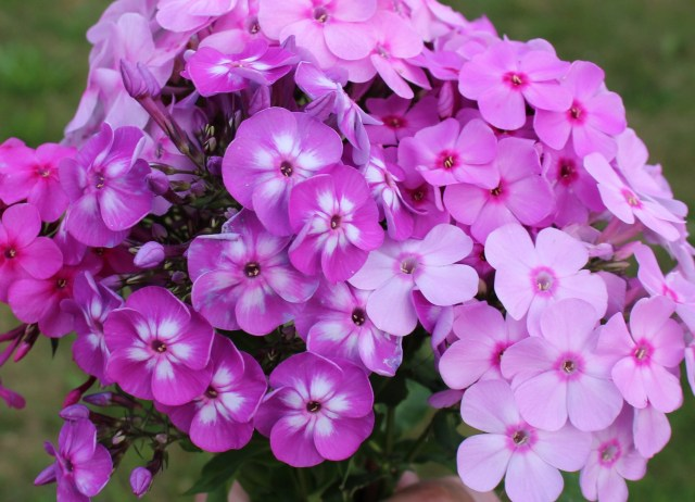 self sown phlox