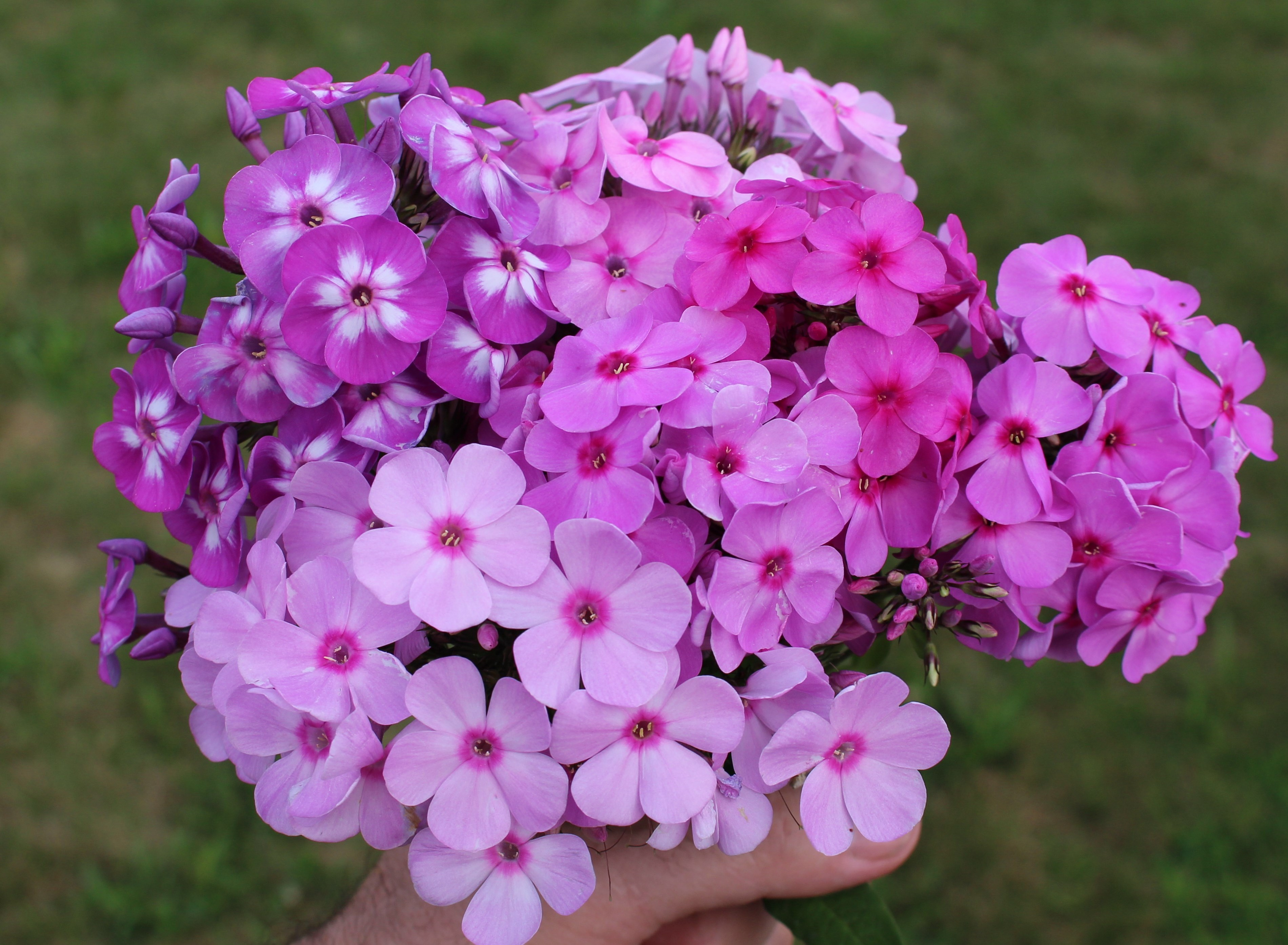 cut these perennials summer we flare neon of pin offers blue and with tall easy sale care flowers longfield mid love in gardens good for butterflies sensational plants garden hardy to are phlox bloom the late shades