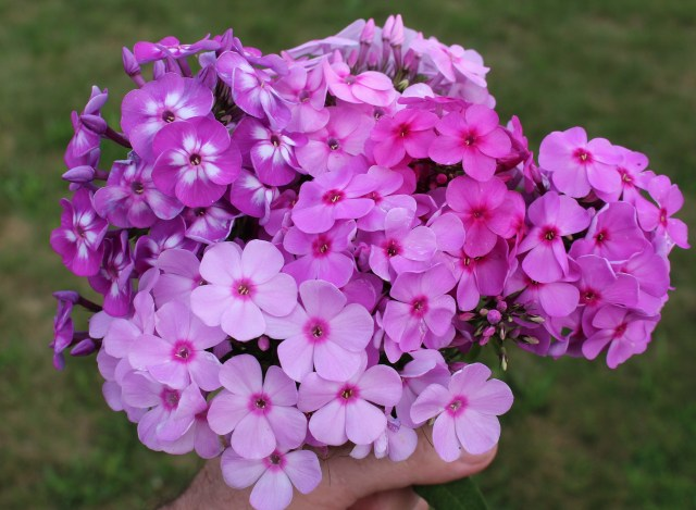 tall phlox seedlings
