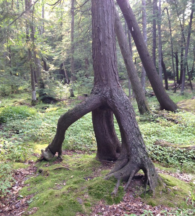 walking tree