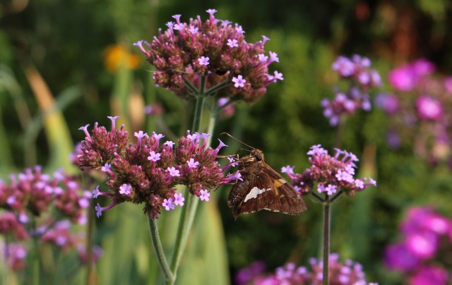 skipper butterfly on verbena