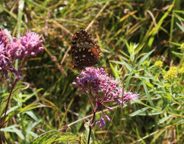 butterfly on joe pye weed