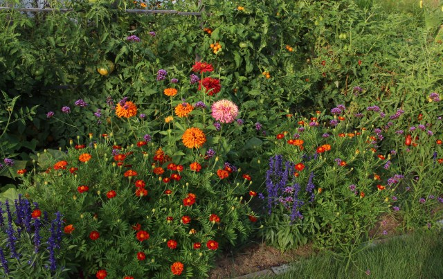 zinnias, marigolds, and blue salvia