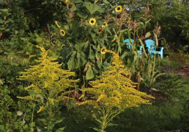 goldenrod for cutting