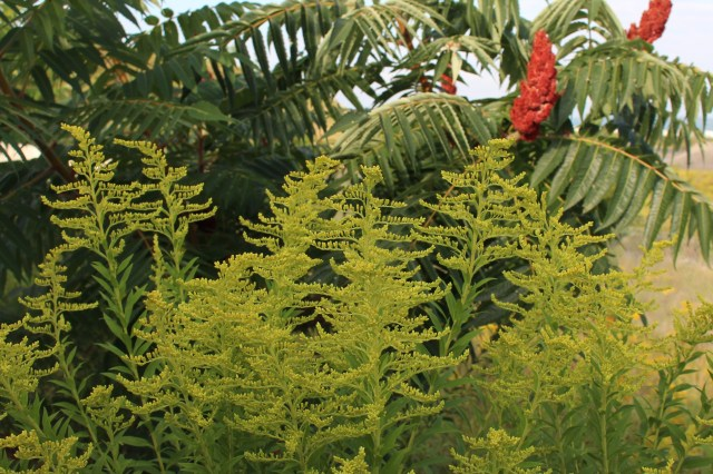 goldenrod and sumac