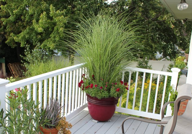miscanthus in pots