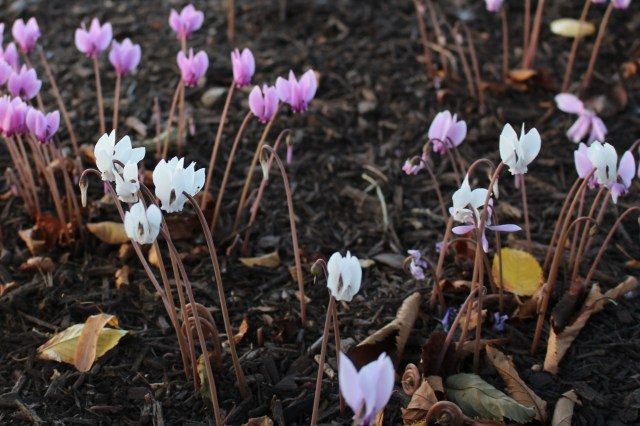 naturalized cyclamen