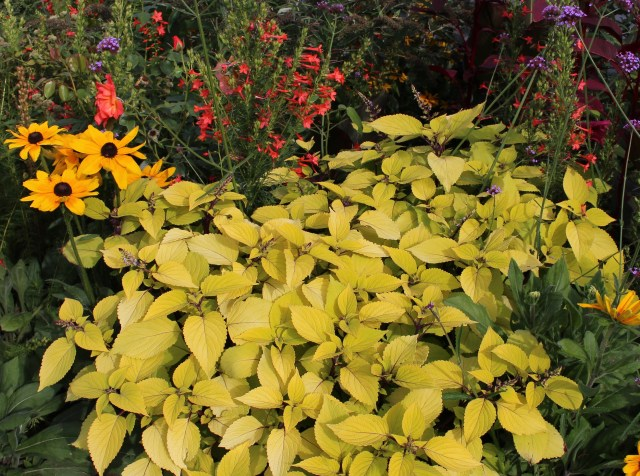 yellow sun coleus