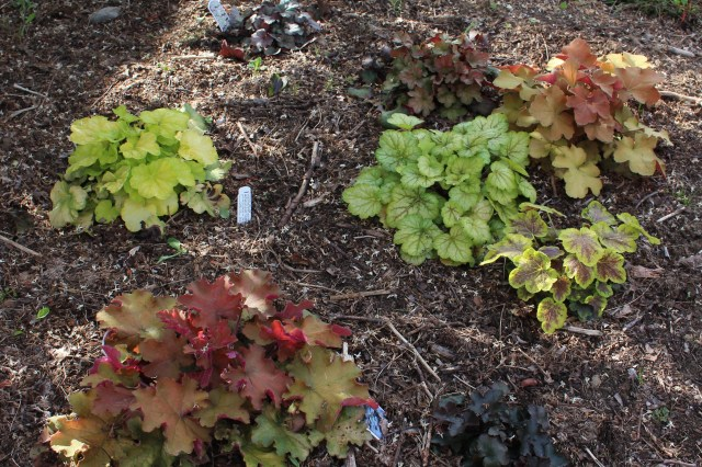 mixed heuchera planting