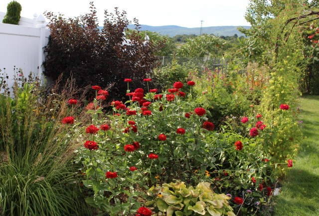 red zinnias with ninebark